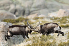 Spanish Wild Goat. Mating season Royalty Free Stock Photos
