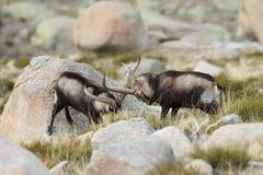 Spanish Wild Goat. Mating season Royalty Free Stock Image