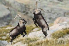 Spanish Wild Goat. Mating season Royalty Free Stock Photo