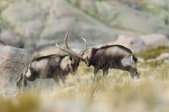 Spanish Wild Goat. Mating season Stock Images