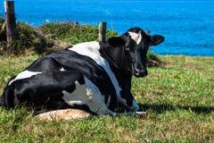 Spanjoren mjölkar kon i sjösidalantgården, Asturias, Spanien Fotografering för Bildbyråer