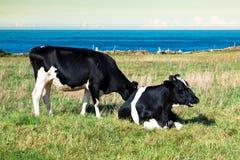Spanjoren mjölkar kon i sjösidalantgården, Asturias, Spanien Royaltyfri Fotografi