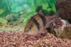 Spanner Barb Fish. Swimming in the aquarium Royalty Free Stock Photo