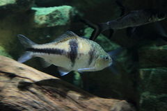 Spanner barb. Floating in water Royalty Free Stock Image