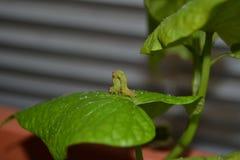 Spannerraupe, die grean Blatt einer Süßkartoffel misst Stockfotos