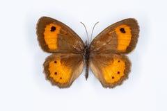 Spansk grindvaktare, Pyronia bathsebafjäril på vit Royaltyfri Bild