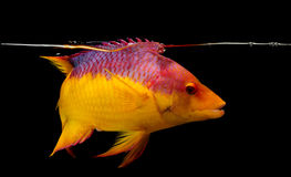 Spansk hogfish på svart bakgrund Fotografering för Bildbyråer
