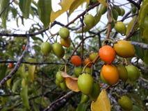 Spansk körsbär, wood frukt för mispel eller för kula Royaltyfri Foto