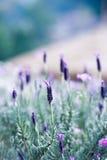 Spansk lavendel på trädgård Royaltyfri Fotografi