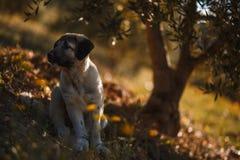 Spansk mastiff f?r valp i ett f?lt av gula blommor arkivbilder