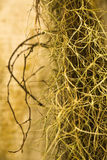 Spansk moss Royaltyfri Fotografi