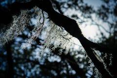 Spansk moss arkivfoto