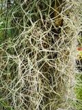 Spansk mossa, ‹för Tillandsiausneoidesplantâ€, arkivbilder
