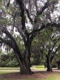 Spansk mossa på eken i parkerar royaltyfria bilder