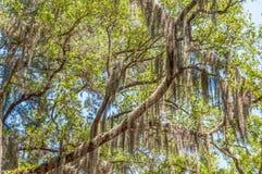Spansk mossa på trädet, låglandmiljö royaltyfria foton