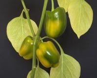 spansk peppar som ripening Arkivbilder