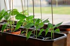 spansk pepparplantor i plast-krukor som är klara att plantera royaltyfri bild