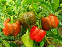 Spansk pepparväxt Fotografering för Bildbyråer