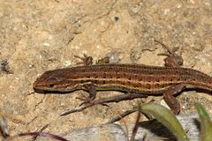 Spansk Psammodromus - Psammodromus hispanicui Royaltyfri Fotografi