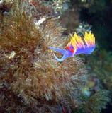 Spansk sjal Nudibranch som svänger i strömmen Arkivfoton