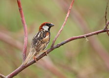 spansk sparrow Royaltyfria Bilder