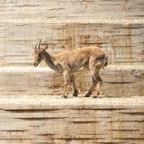 Spansk stenbock (Caprapyrenaicaen) Royaltyfri Fotografi