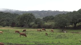 spansk tjur som 4K äter gräs en regna dag av vintern i fältet stock video