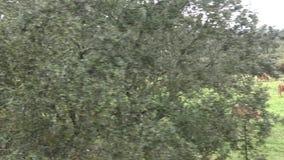spansk tjur som 4K äter gräs en regna dag av vintern i fältet lager videofilmer
