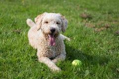 Spansk vattenhund arkivfoto