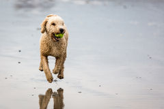 Spansk vattenhund med bollen på stranden royaltyfri bild