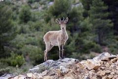 Spanska hjortar Arkivfoto
