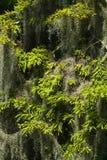 Spanska Moss Hanging In ett slut för cypressträd upp Arkivbilder