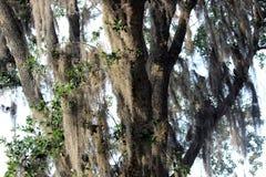 Spanska Moss Hanging från Live Oak Trees Arkivbilder