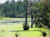 Spanska Moss Swamp royaltyfri bild