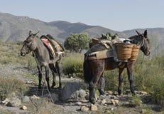 spanska mules Royaltyfri Fotografi