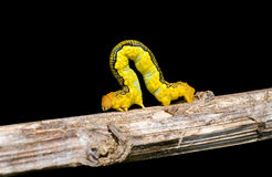Spanworm (Caterpillar of Geometer) 4 Stock Photography