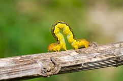 Spanworm (Caterpillar of Geometer) 6 Royalty Free Stock Photos