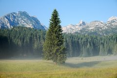 Spar Forest In Durmitor Park, Montenegro stock afbeeldingen