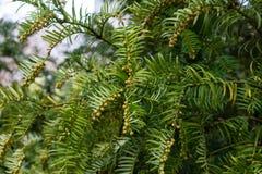 Spar met tak en bladeren, drupacea van cephalotaxusharringtonia van Japan royalty-vrije stock afbeeldingen