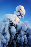 Spar onder sneeuw Royalty-vrije Stock Foto