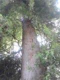 Spar tree Royalty Free Stock Photo