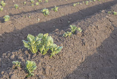 Spara il campo dell'agricoltore della patata Fotografia Stock Libera da Diritti