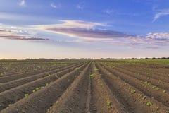 Spara il campo dell'agricoltore della patata Immagine Stock