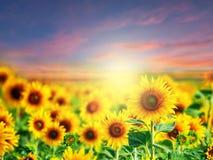 Sparad härlig solros Arkivbild