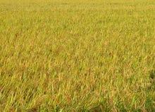 sparad ricetextur Royaltyfri Foto