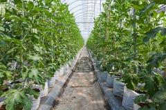Sparad vattenmelon i växthus. Arkivfoto