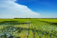 Sparade gröna ris Arkivfoto