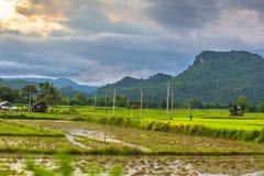 Sparade ris bäddar ned i skördsäsongen, Thailand Arkivbild