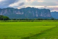 Sparade ris bäddar ned i skördsäsongen, Thailand Royaltyfria Foton