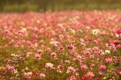Sparas av färgrikt kosmos i solnedgångtid som härlig flora royaltyfri bild